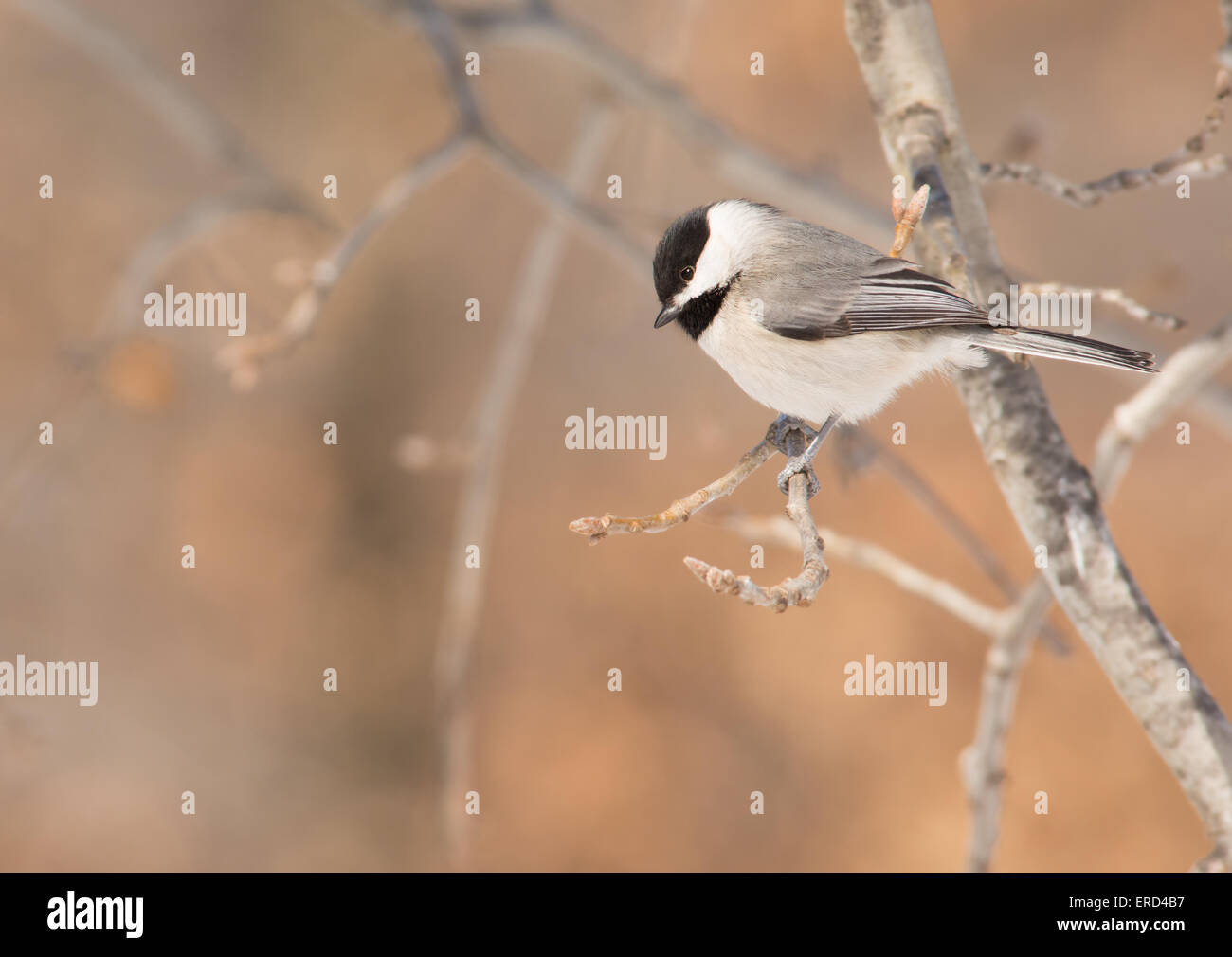 Carolina Chickadee sitting on a tree branch, looking down for a place to land - Stock Image