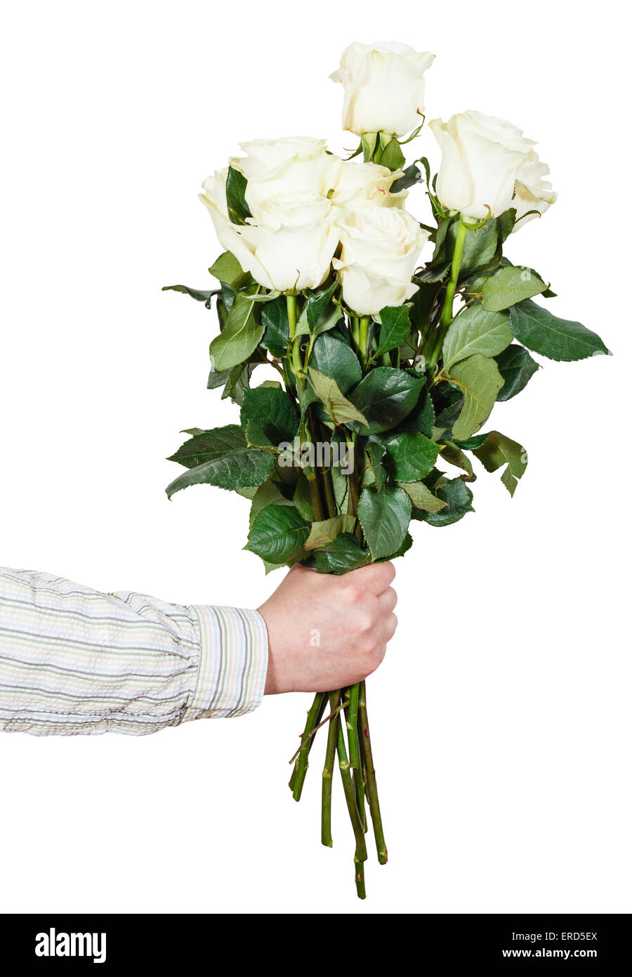 male hand giving bouquet of many white roses isolated on white Stock ...