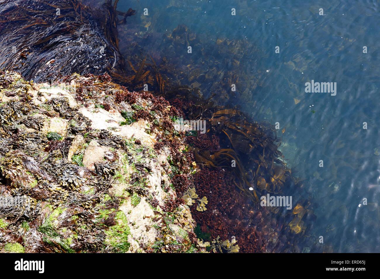 various seaweeds and algae growing on rocks at limerick point Cushendall County Antrim Northern Ireland UK - Stock Image