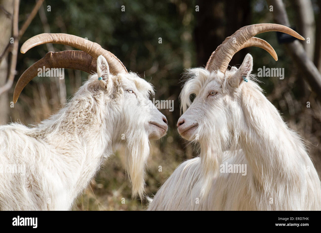 White billy goats - members of the small flock used to control vegetation and encourage biodiversity in Avon Gorge - Stock Image