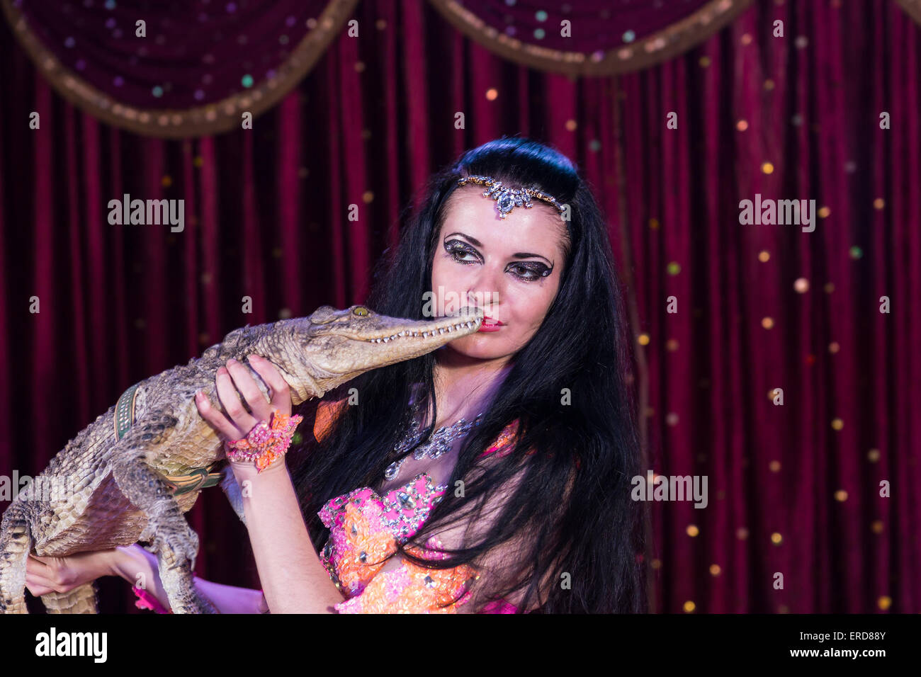 Close Up of Exotic Dark Haired Belly Dancer Wearing Bright Costume Holding Small Alligator on Stage with Red Curtain Stock Photo