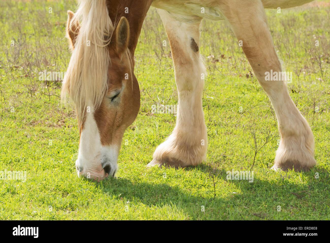 Blond Belgian draft horse grazing in spring sun - Stock Image