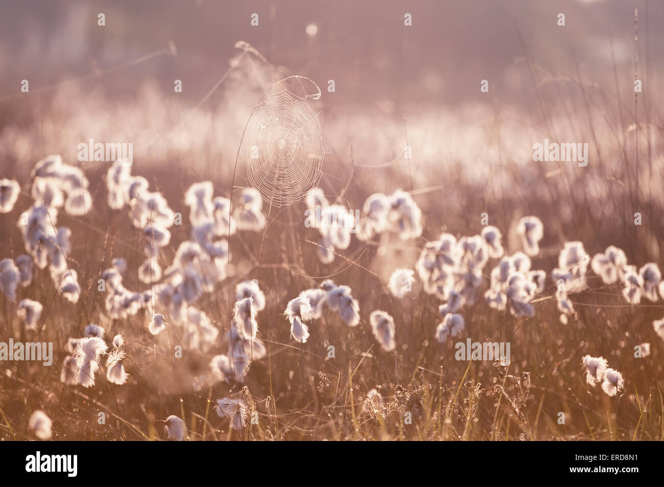 cottograss and spiderweb in morning sunlight - Stock Image