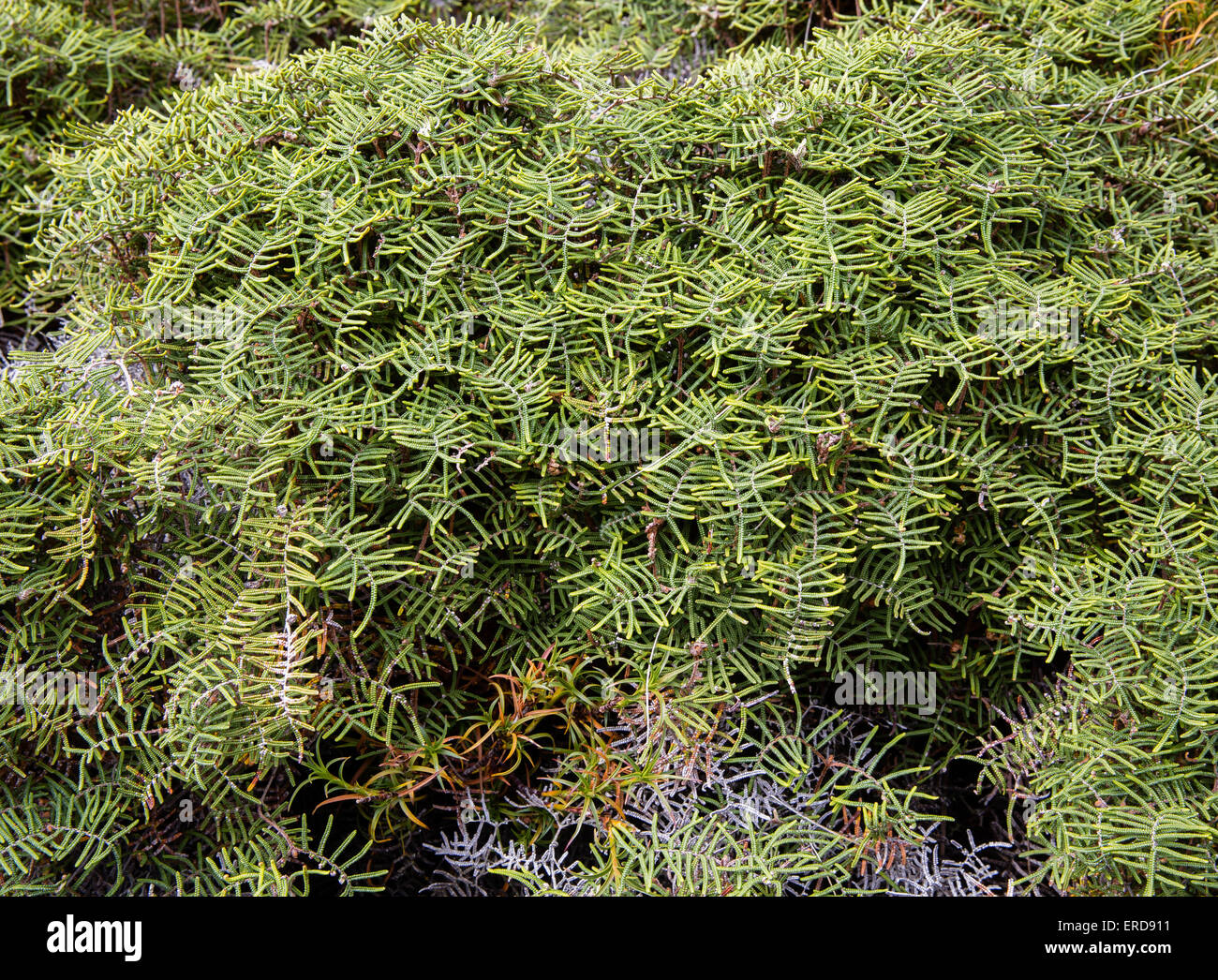 Tangle Fern Gleichenia dicarpa a dense mat forming fern of open subalpine scrub of New Zealand - Stock Image