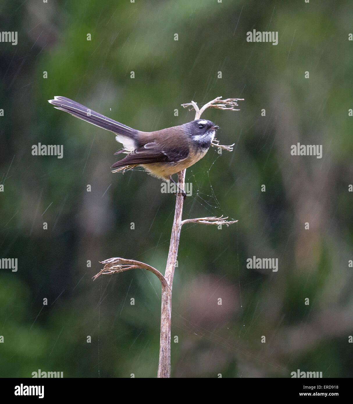 New Zealand Fantail Rhipidura fuliginosa looking for spiders on flax in heavy rain South Island New Zealand - Stock Image