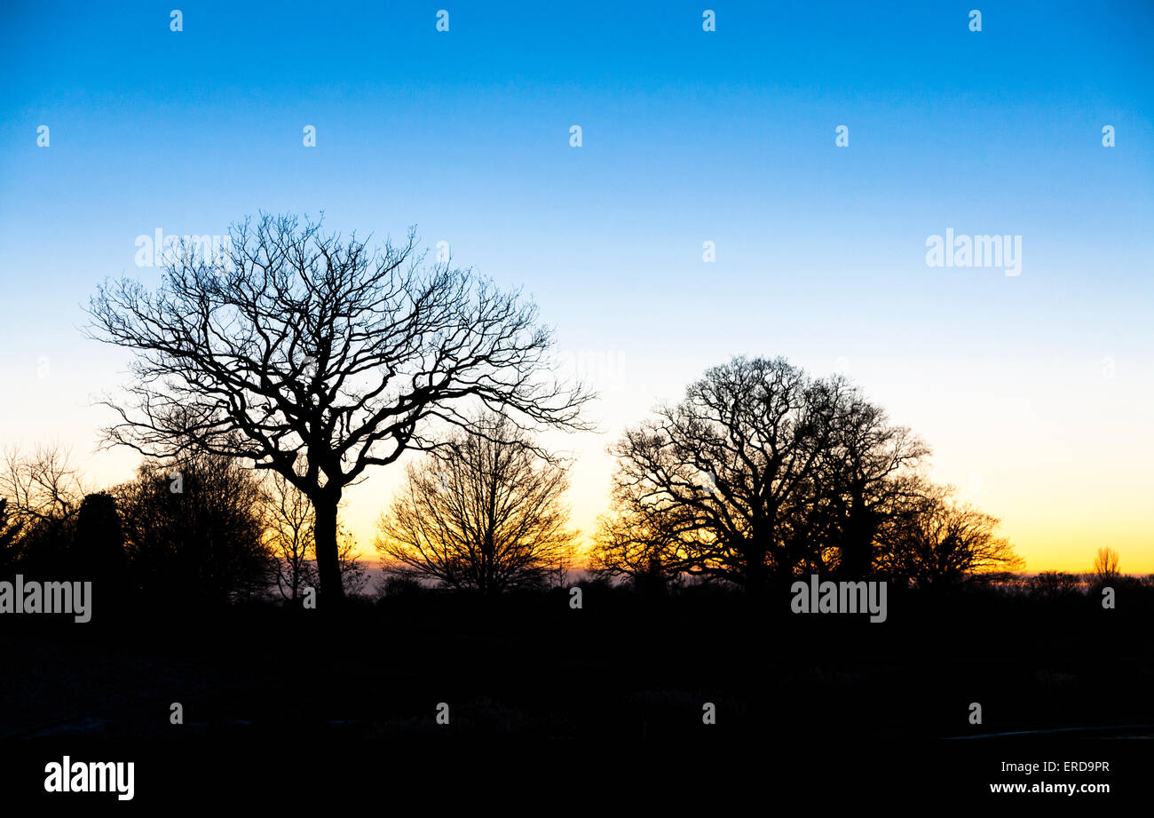 Bare leafless trees in winter silhouetted against the glowing evening sky at sunset, RHS Gardens, Wisley, Surrey, - Stock Image