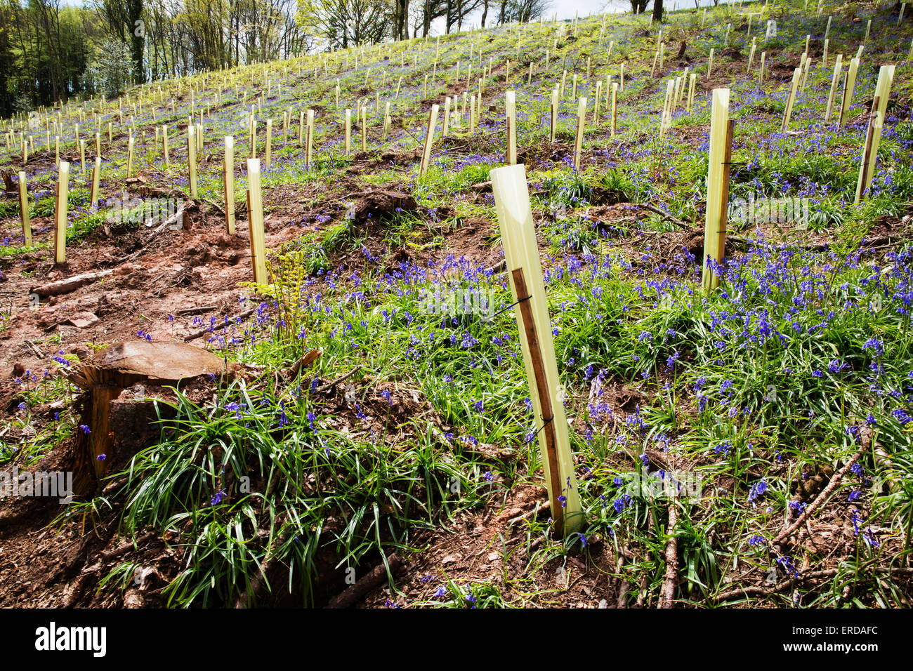 Conifer clearance replaced by native species saplings in plastic tree guards in Priors Wood Somerset England - Stock Image