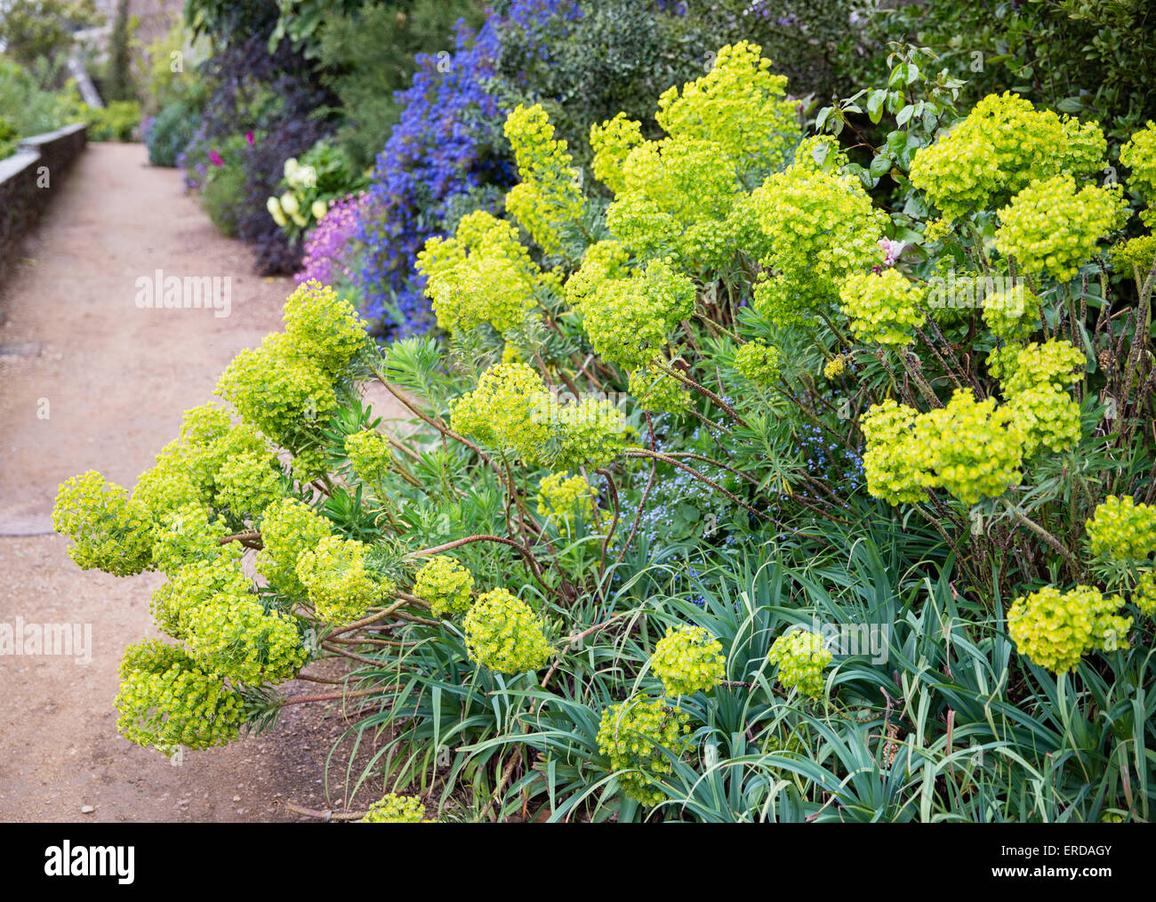Accent planting of Euphorbia Wulfenii at the end of a long herbaceous border at Berkeley Castle Gloucestershire - Stock Image