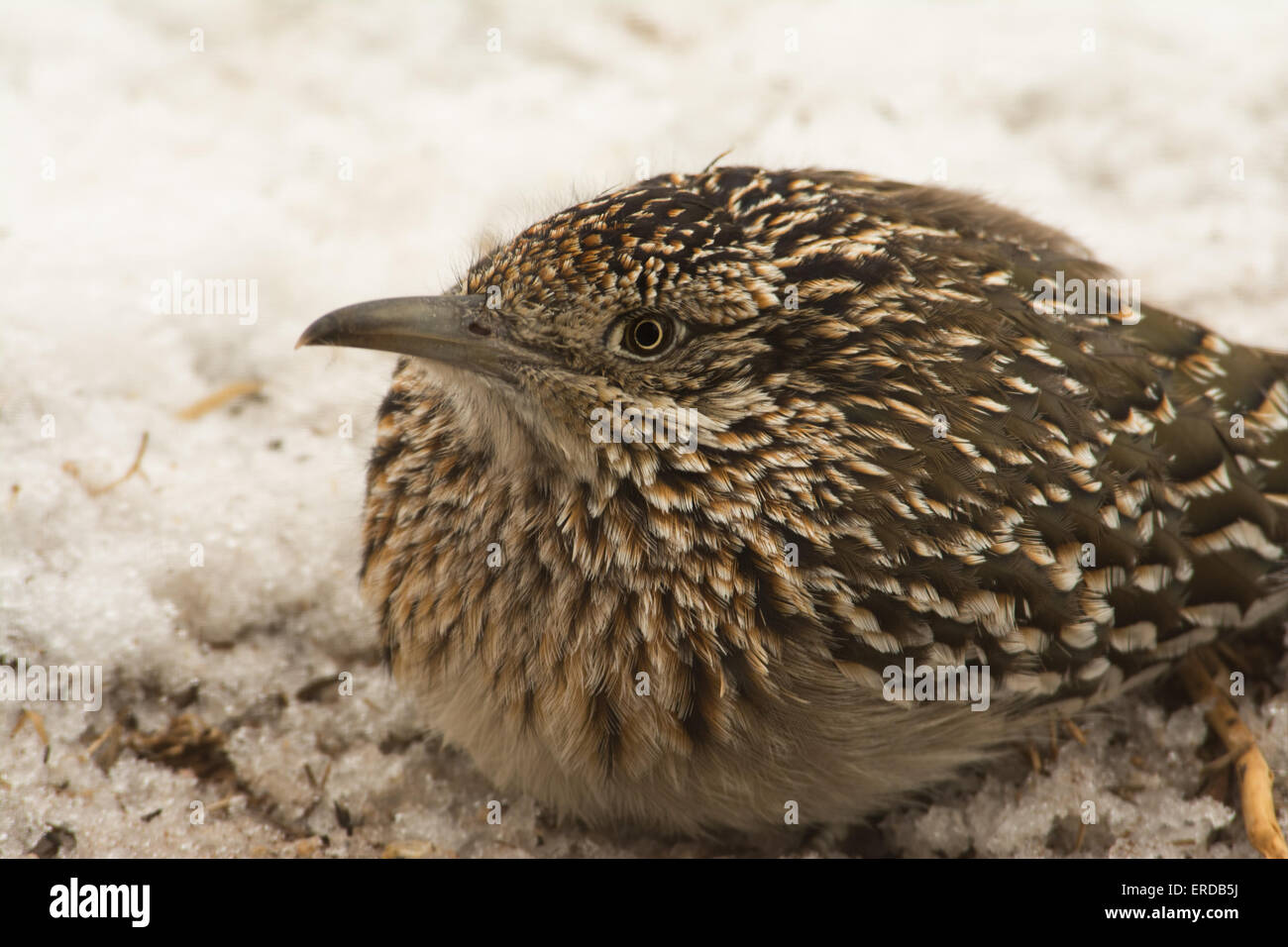 Closeup of a Greater Roadrunner squatting down in snow, waiting for prey - Stock Image