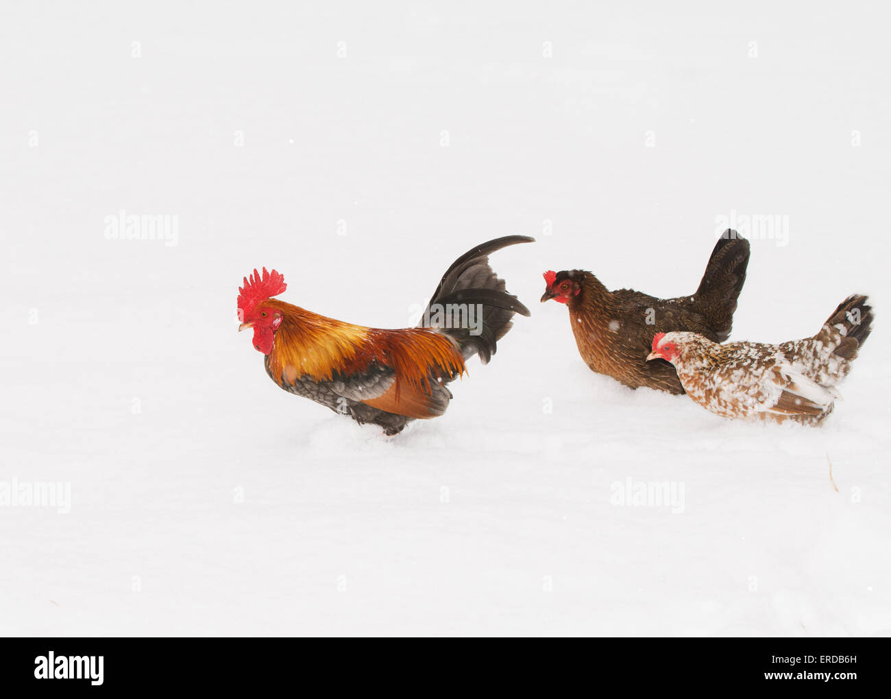 Rooster walking through deep snow with two hens, in snowfall - Stock Image