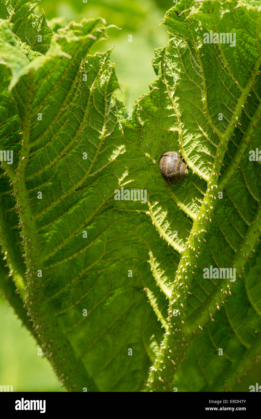 a snail that has braved the prickly spikes of a Gunnera manicata leaf - Stock Image