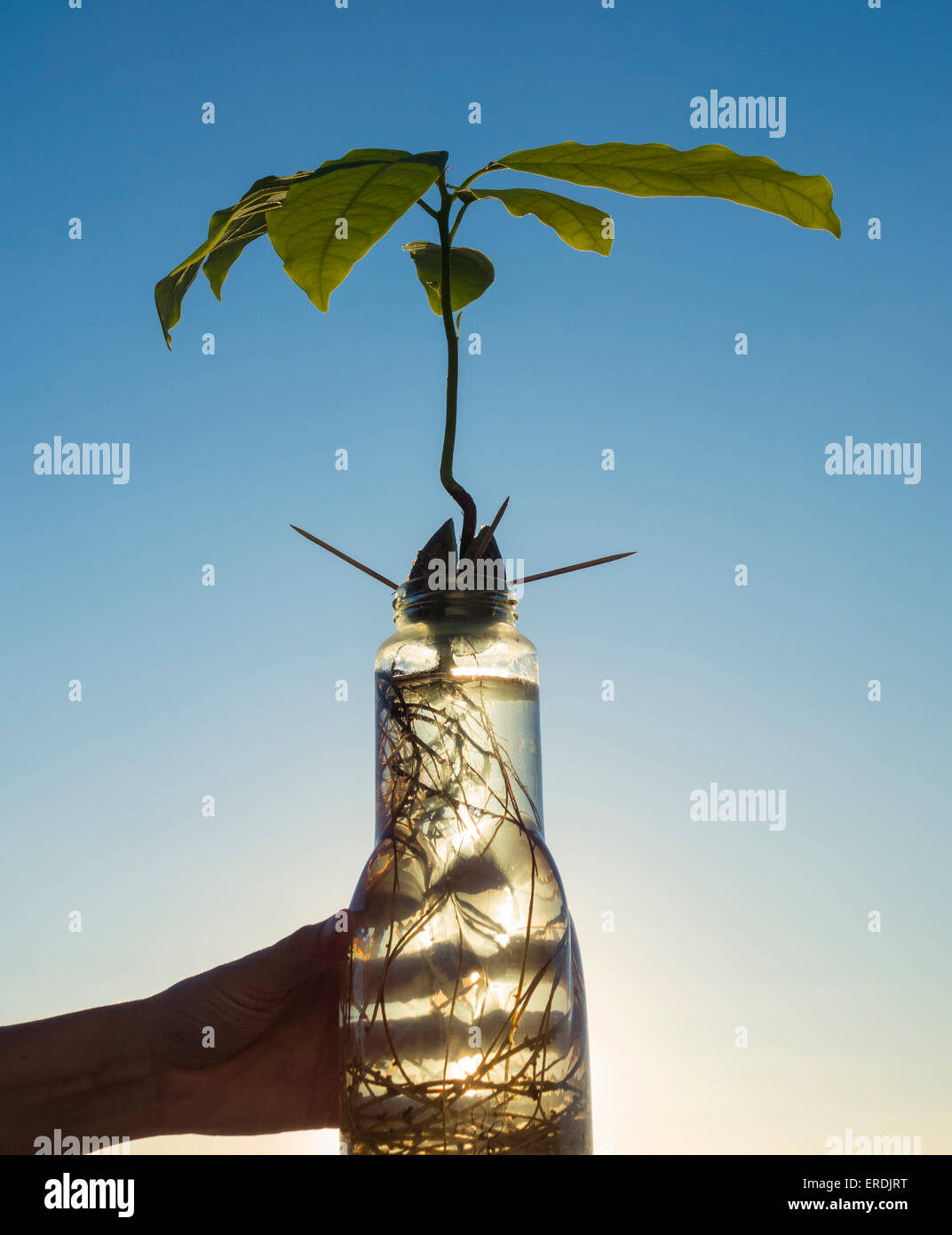 Avocado plant grown from stone in jar of water - Stock Image