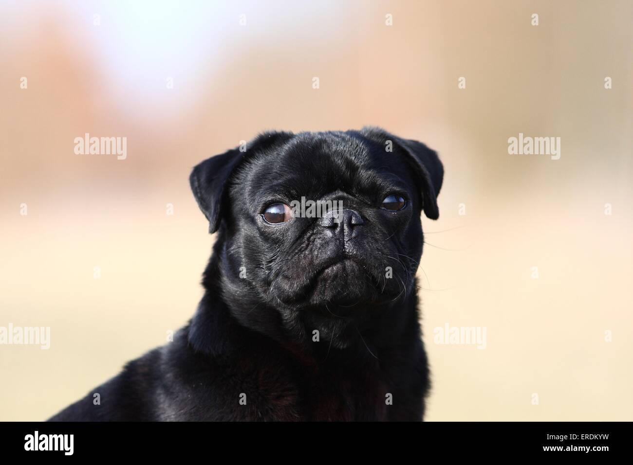 black pug - Stock Image