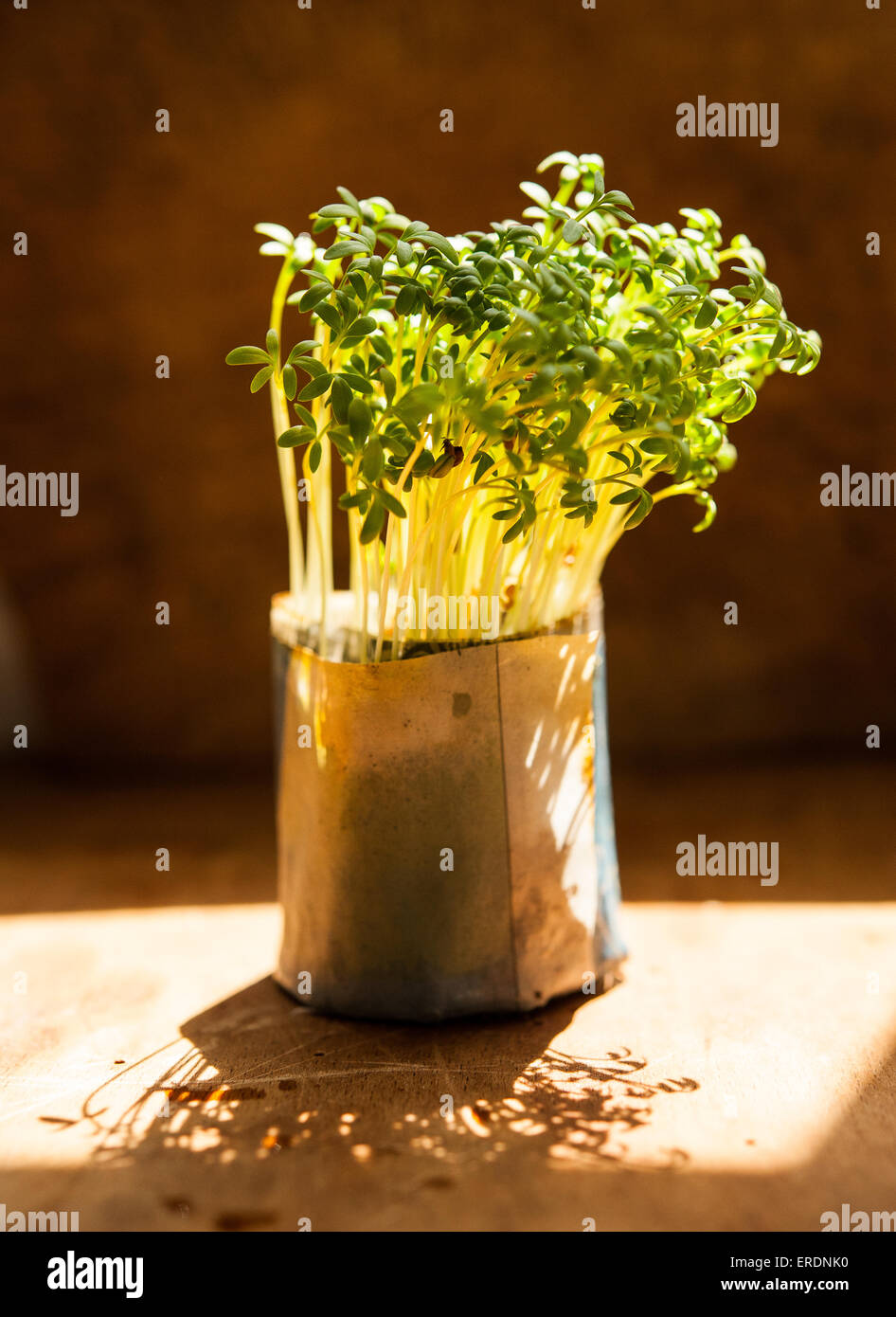 Cress growing in a paper pot - Stock Image