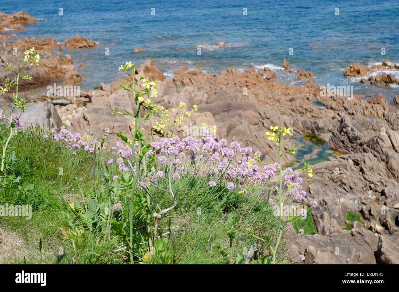Cushion like bunches of the rounded pink flowers of thrift are a cushion like bunches of the rounded pink flowers of thrift are a common sight on coastal cliffs shingle beaches and sand dunes mightylinksfo