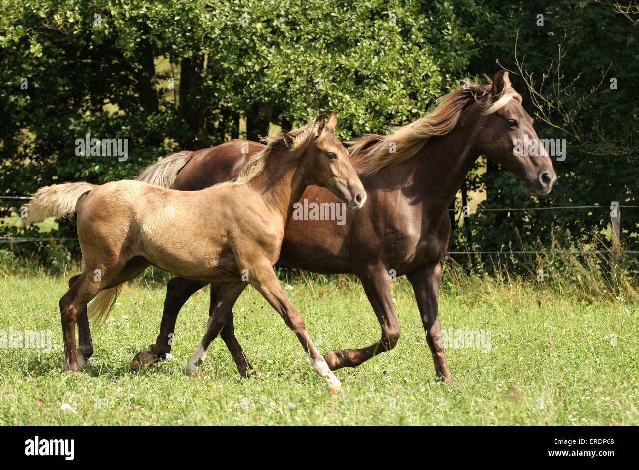 trotting Rocky Mountain Horses - Stock Image