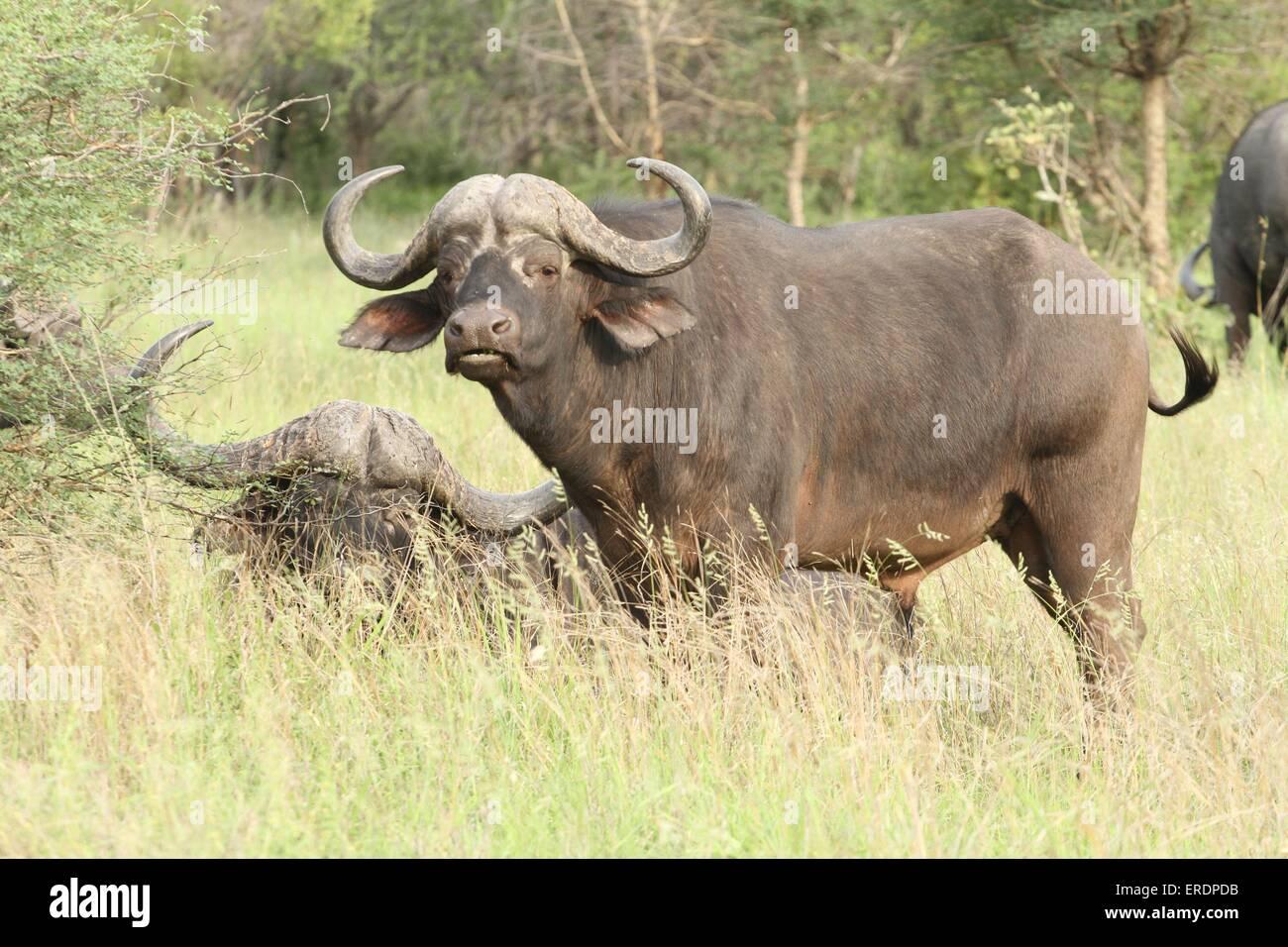 African cape buffalos - Stock Image