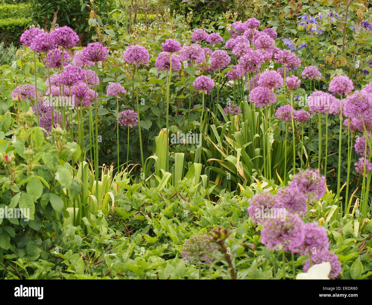 Group of Allium flower heads planted in a garden setting - Stock Image