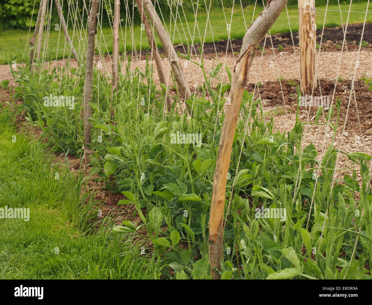 Flourishing Sweet peas on an allotment in springtime growing up wooden and string supports - Stock Image