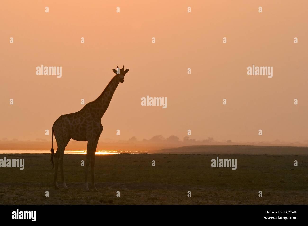 standing giraffe - Stock Image