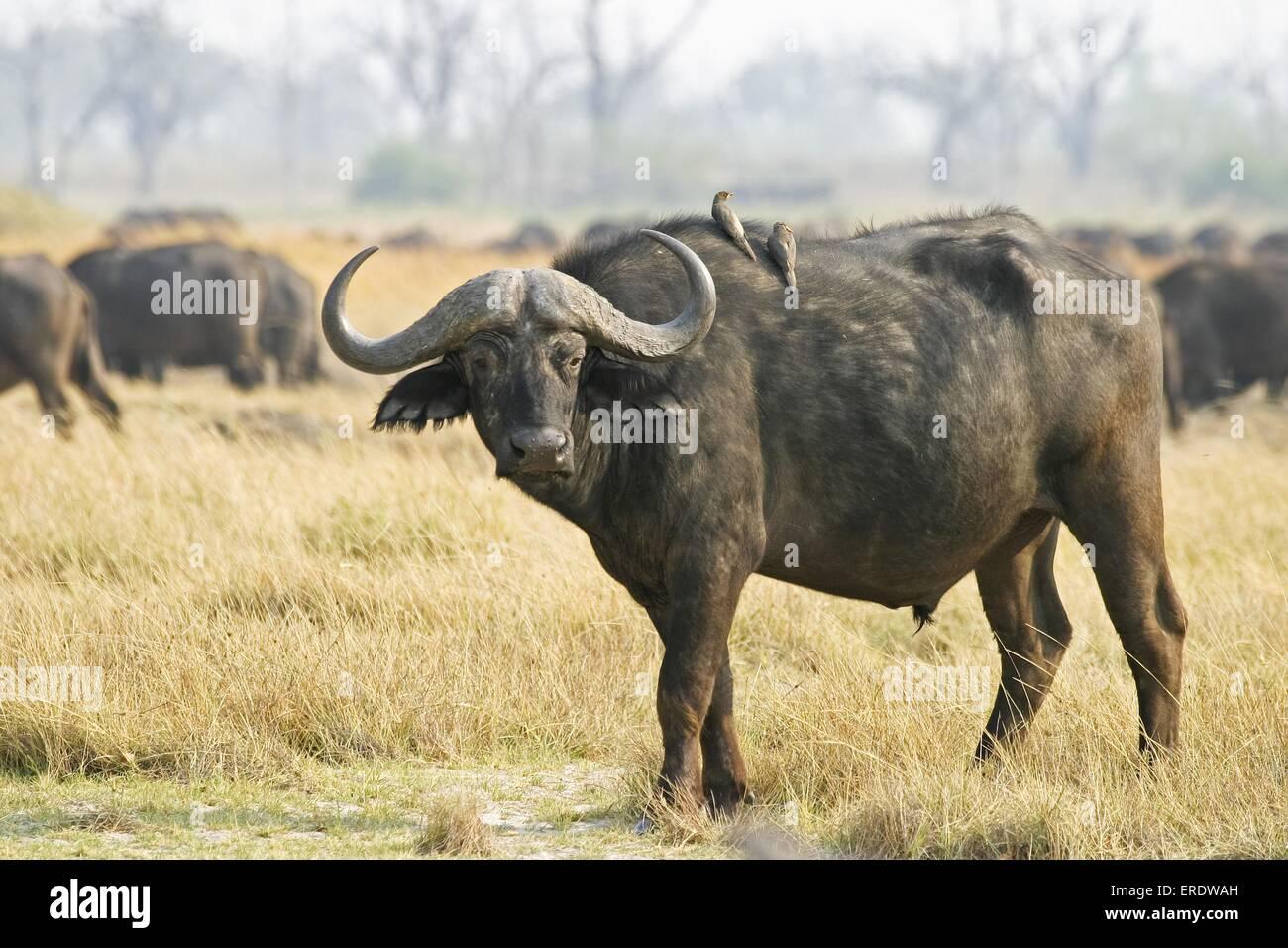 Cape Buffalos - Stock Image