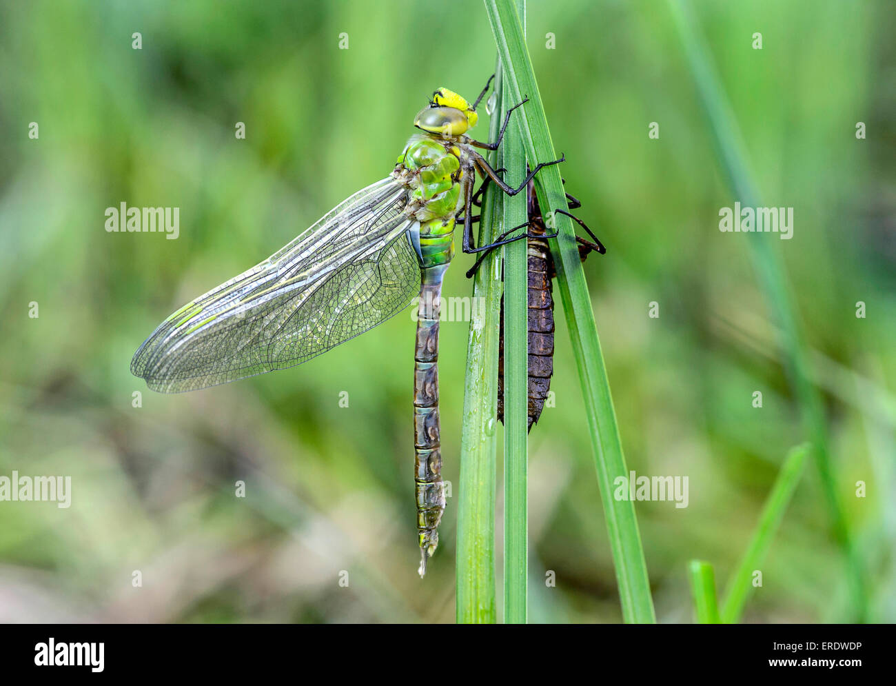 Newly hatched emperor dragonfly or blue emperor (Anax imperator), family Aeshnidae, male, Switzerland - Stock Image