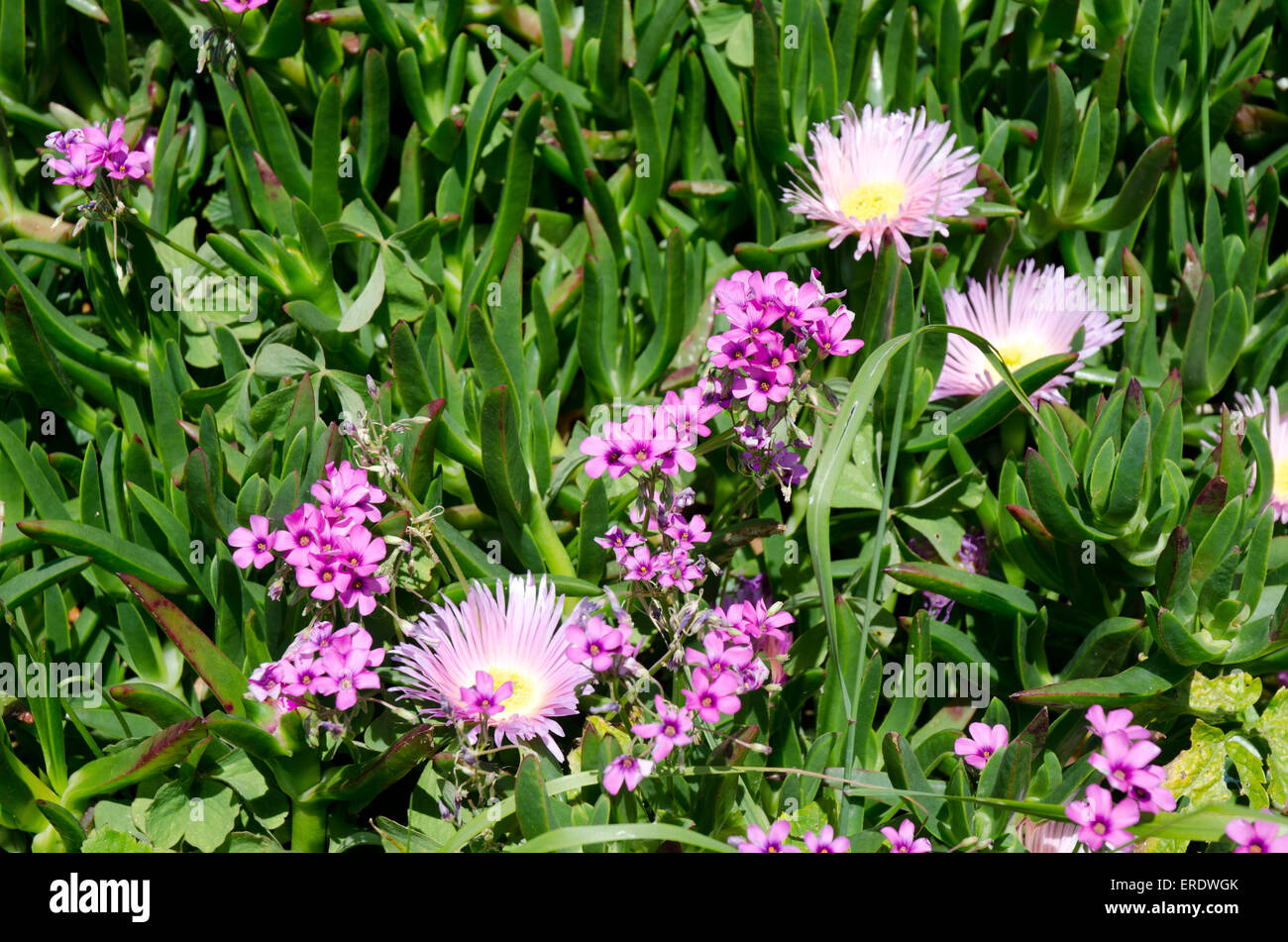 Pink daisy like flowers with yellow centres and succulent leaves pink daisy like flowers with yellow centres and succulent leaves often found in sunny climates izmirmasajfo
