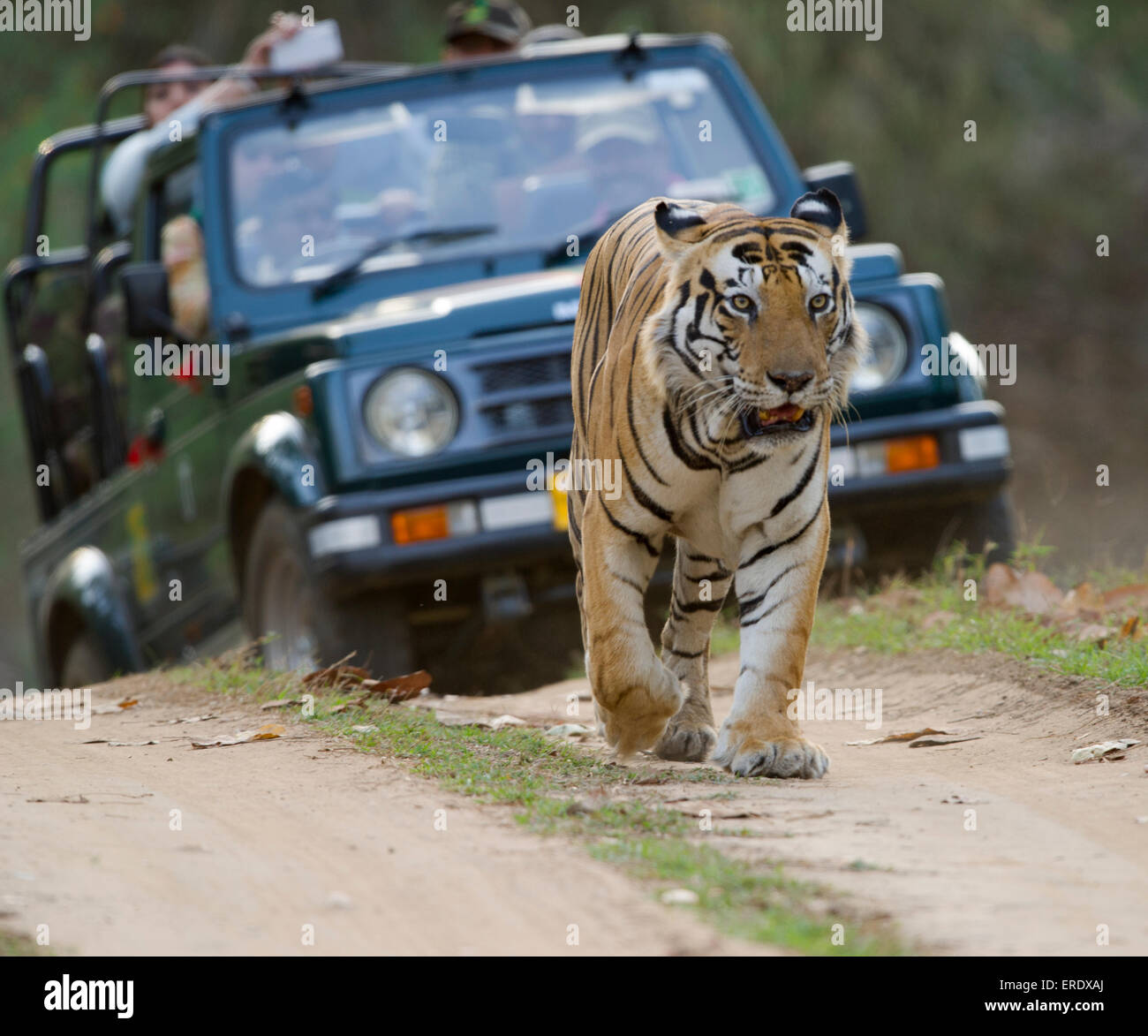 Bengal Tiger who's  name is Munna with the letter CAT on his forehead followed by a  jeep - Stock Image