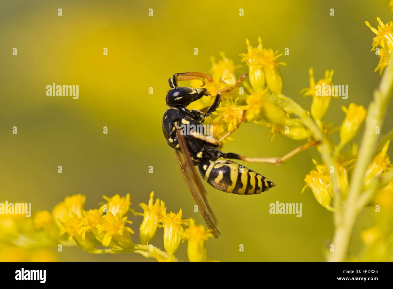 Common wasp - Stock Image