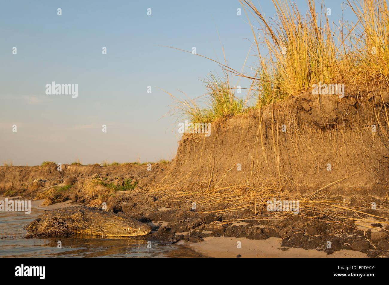 Nile Crocodile (Crocodylus niloticus), basking at the bank of the Chobe River, Chobe National Park, Botswana - Stock Image