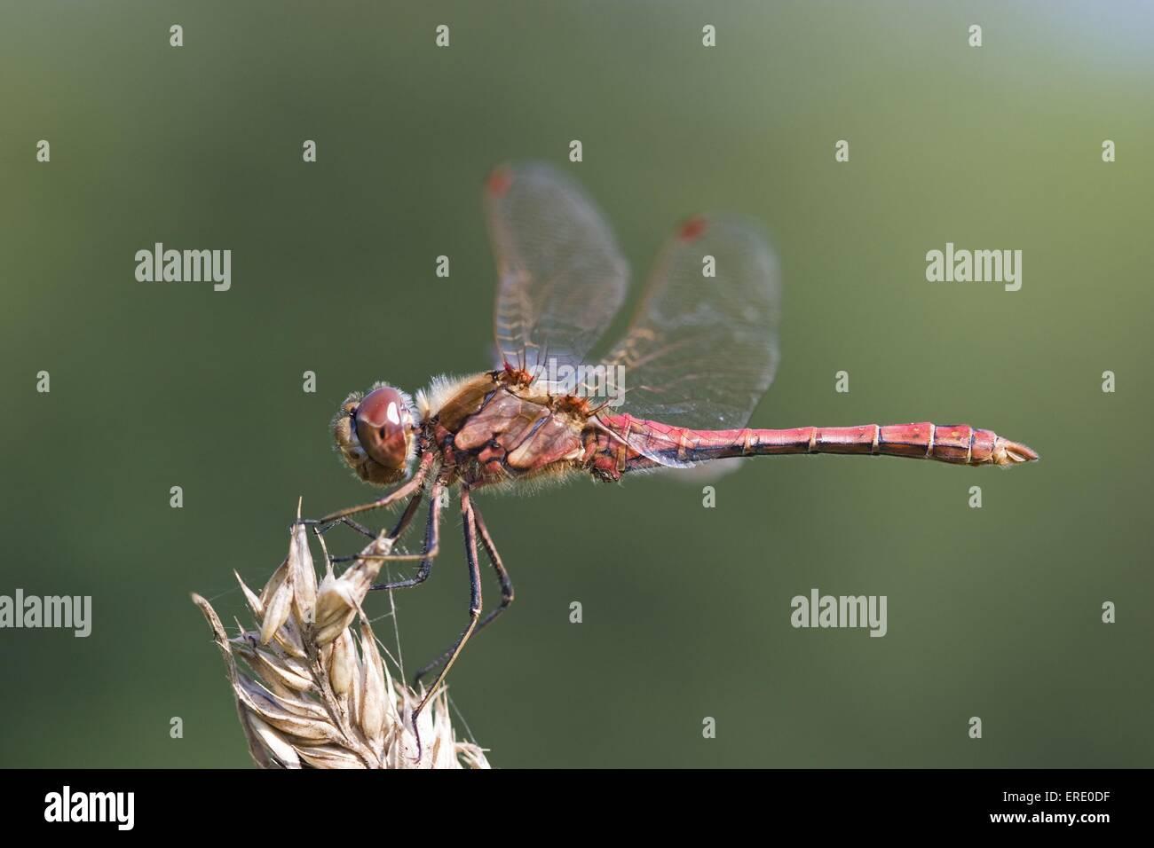 darter - Stock Image