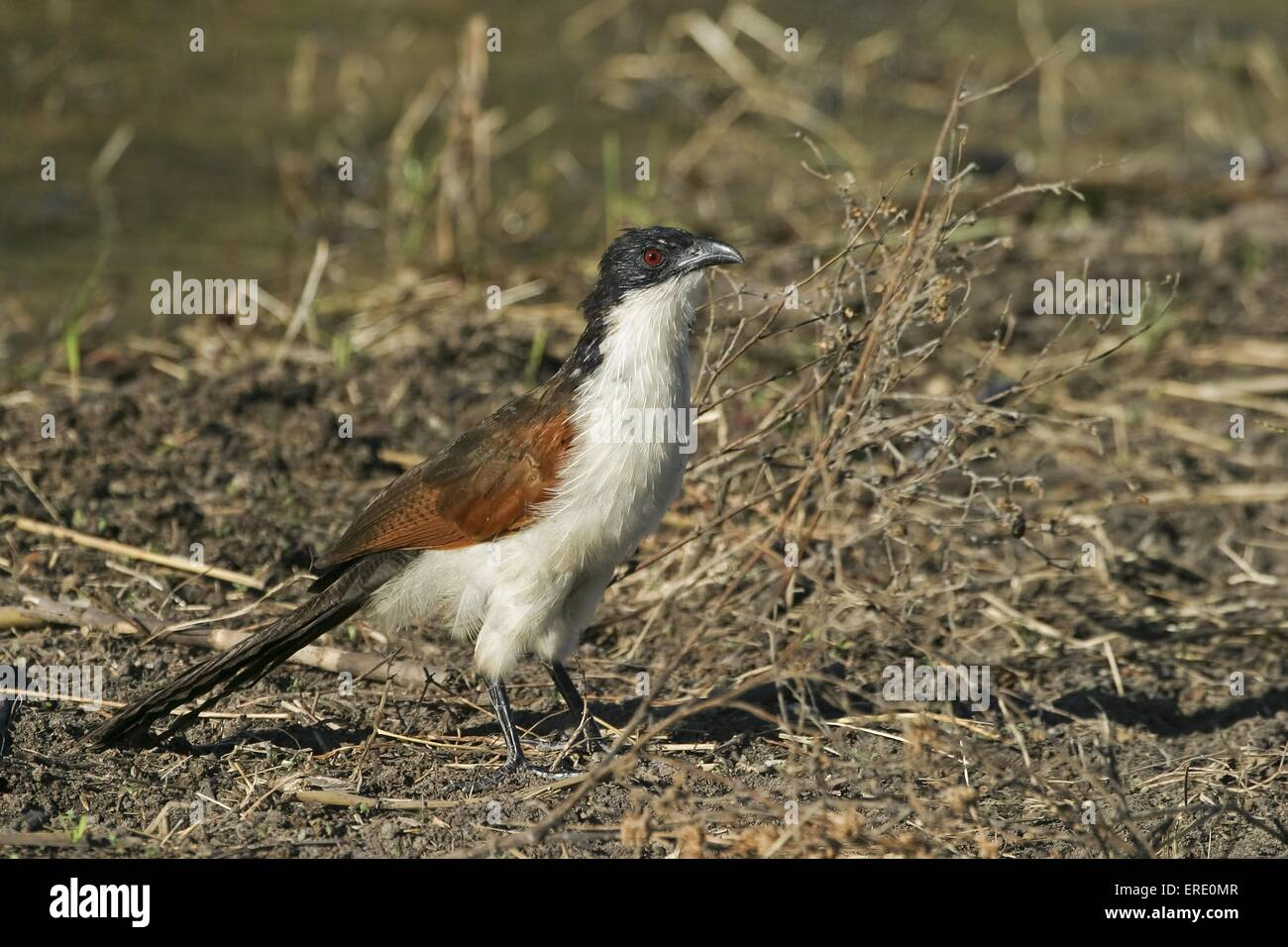 Burchell's Coucal - Stock Image