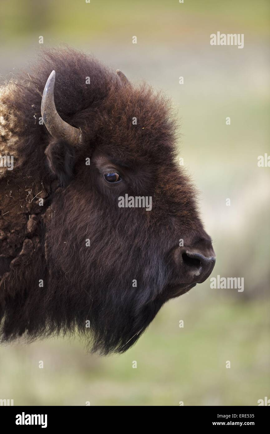 american bison - Stock Image