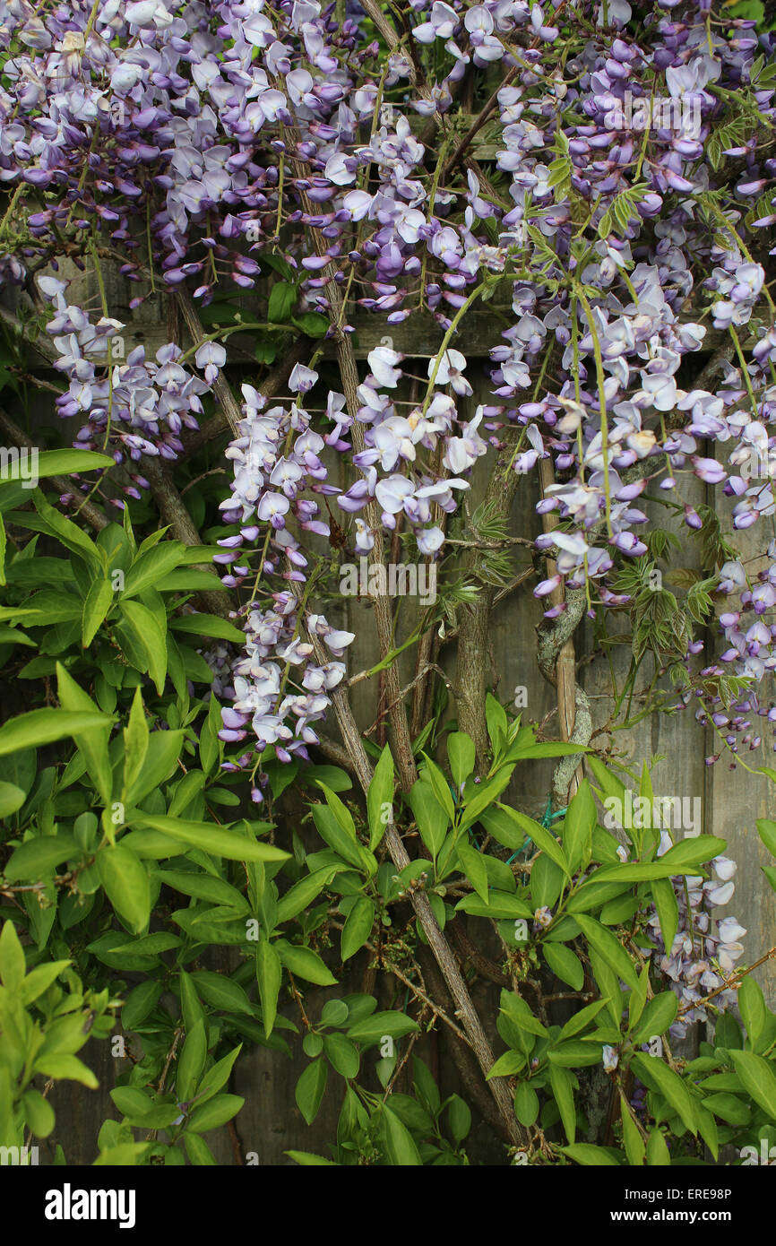 England Dorset Garden Shrub Wisteria Sinensis Blue  Peter Baker - Stock Image