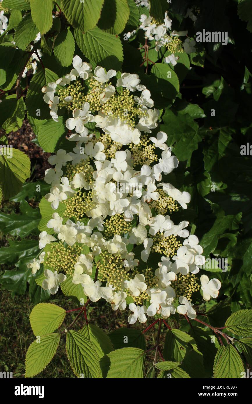 England Dorset Garden Shrub Viburnham Plicatum (Cascade)  Peter Baker - Stock Image