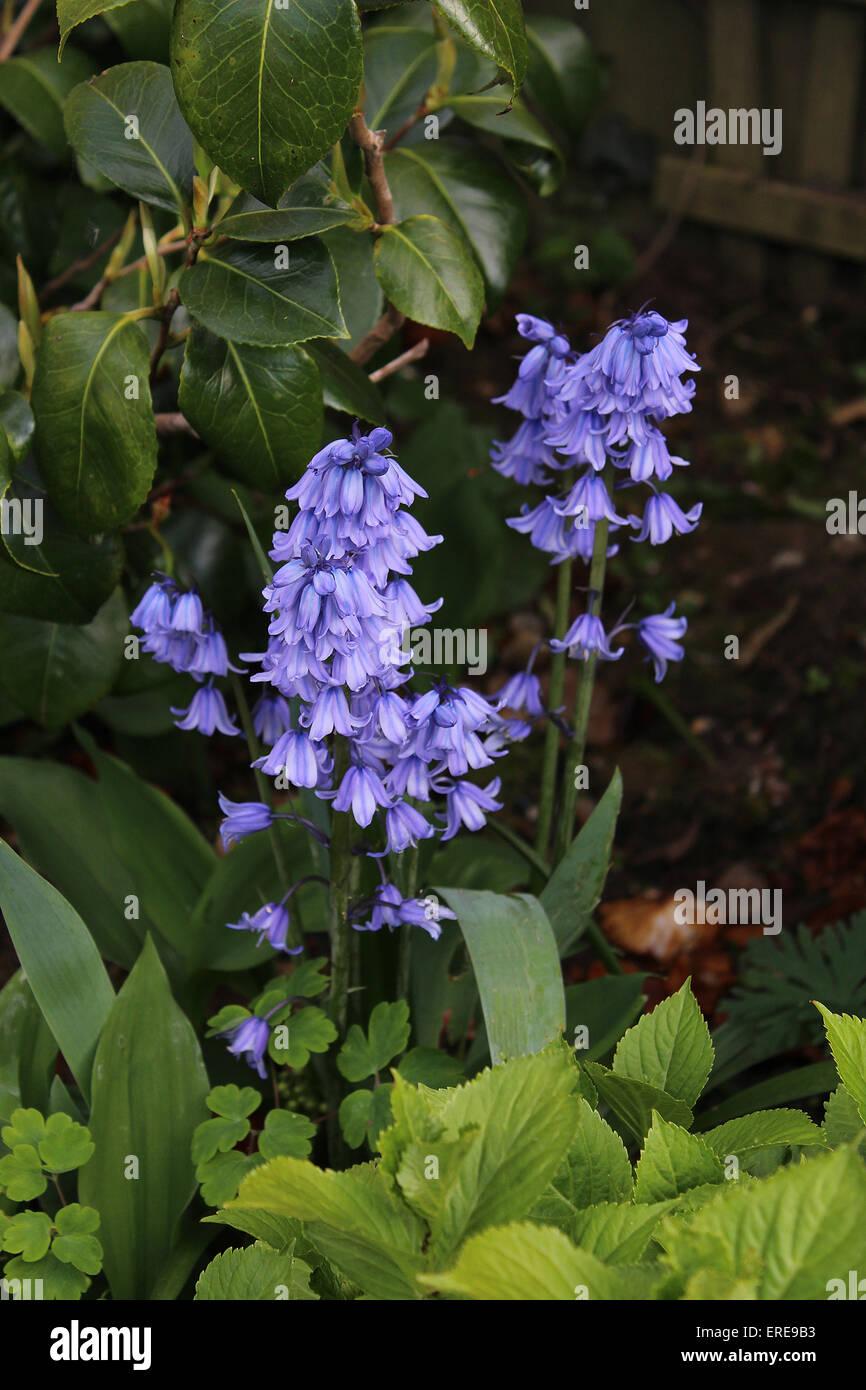 England Dorset Garden Flowers Spanish Bluebell (Hyacinthoides Hispanica) Stock Photo