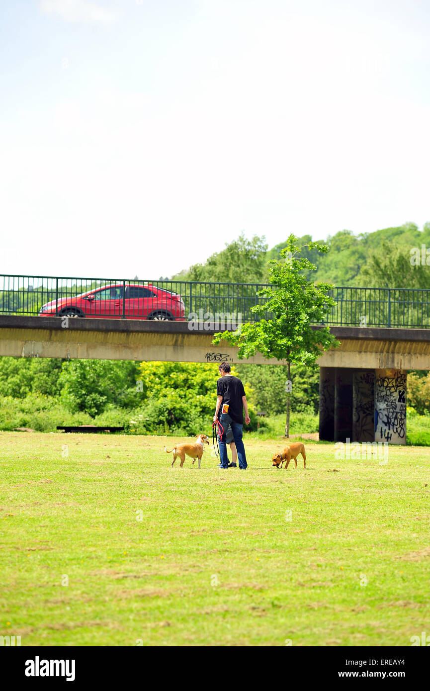 A dog walker walks their dogs by a busy road in Bristol. - Stock Image