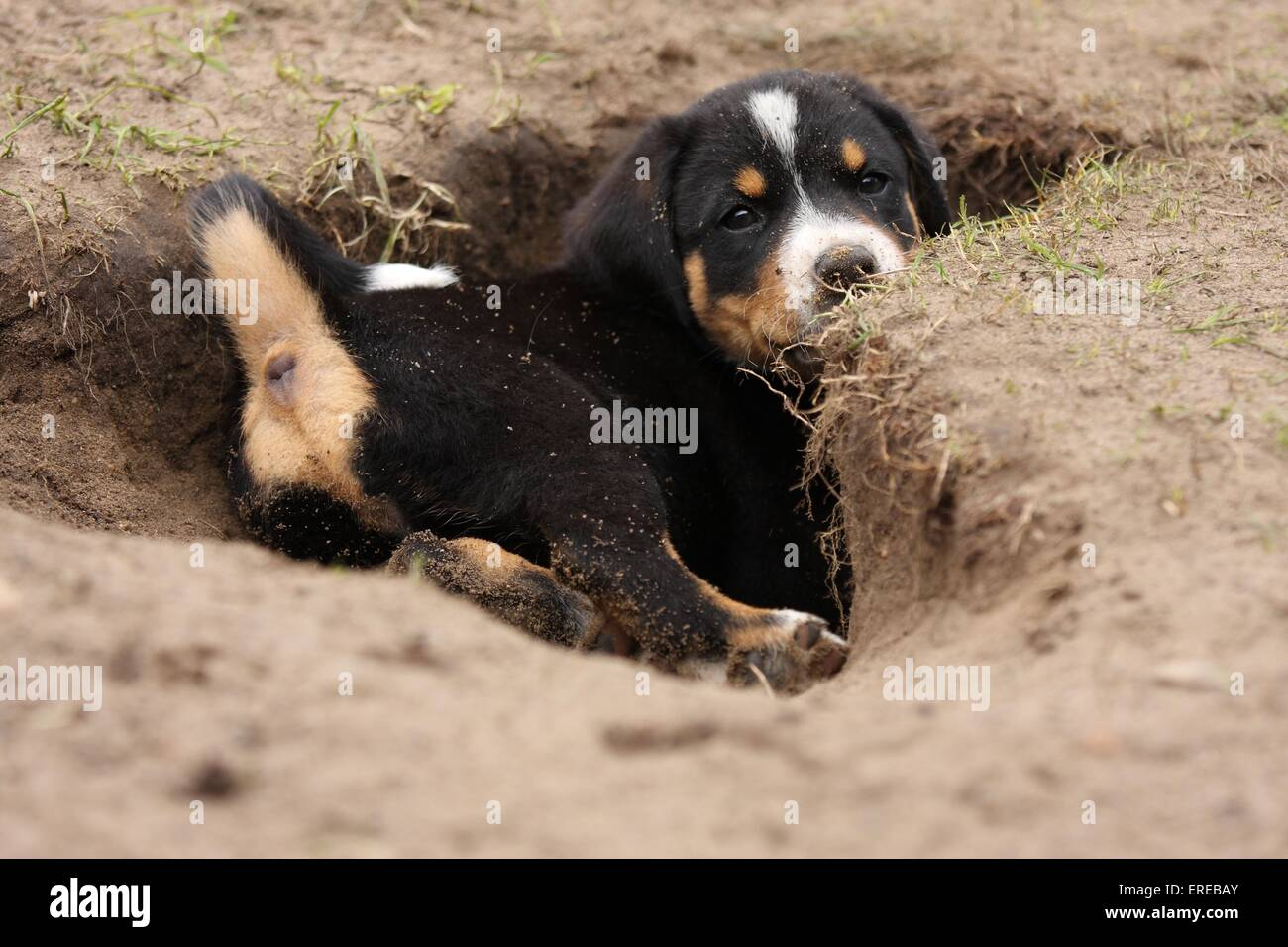 Appenzeller Mountain Dog Puppy Stock Photo 83294819 Alamy