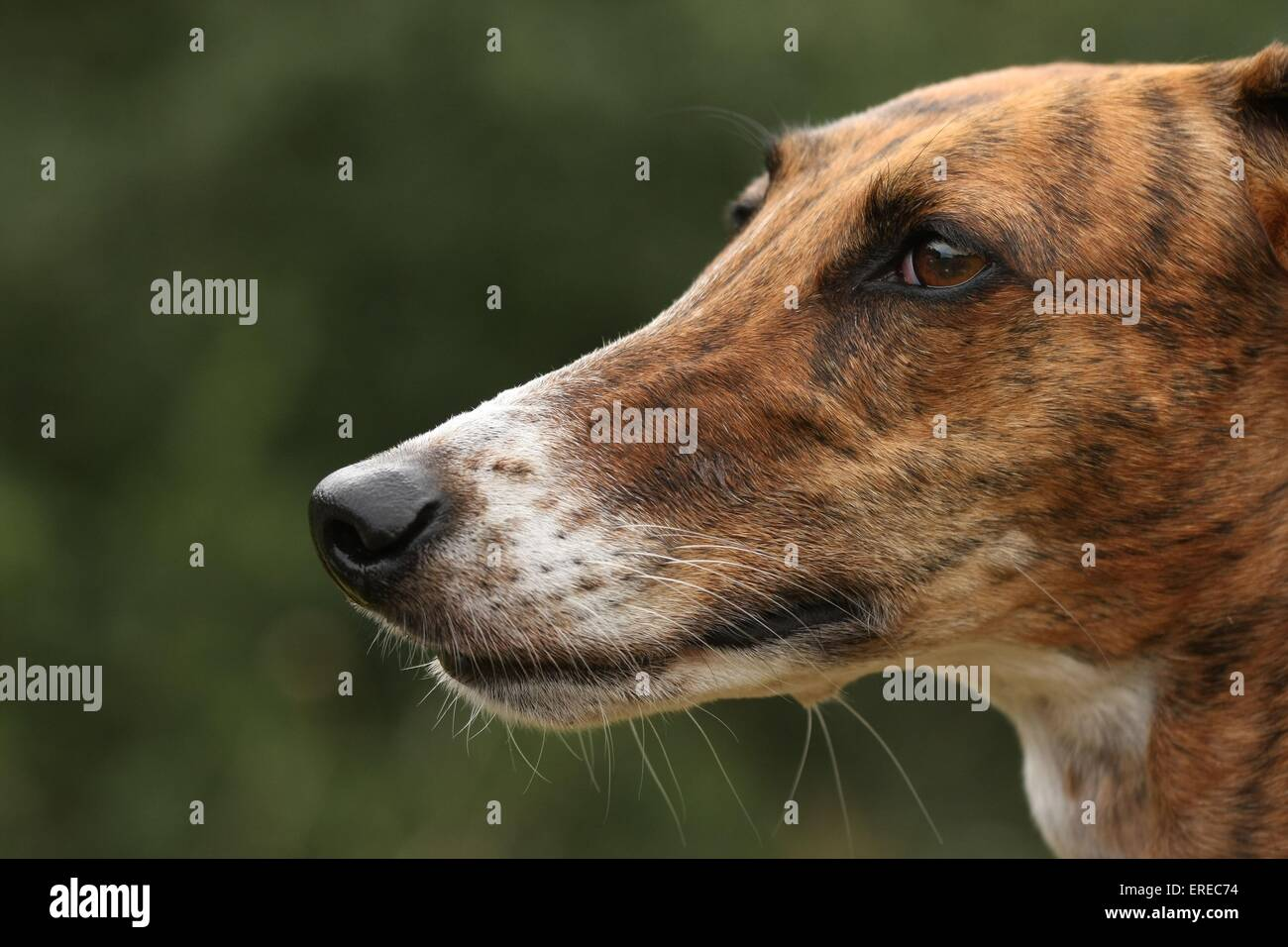 Galgo Espanol Portrait Stock Photo