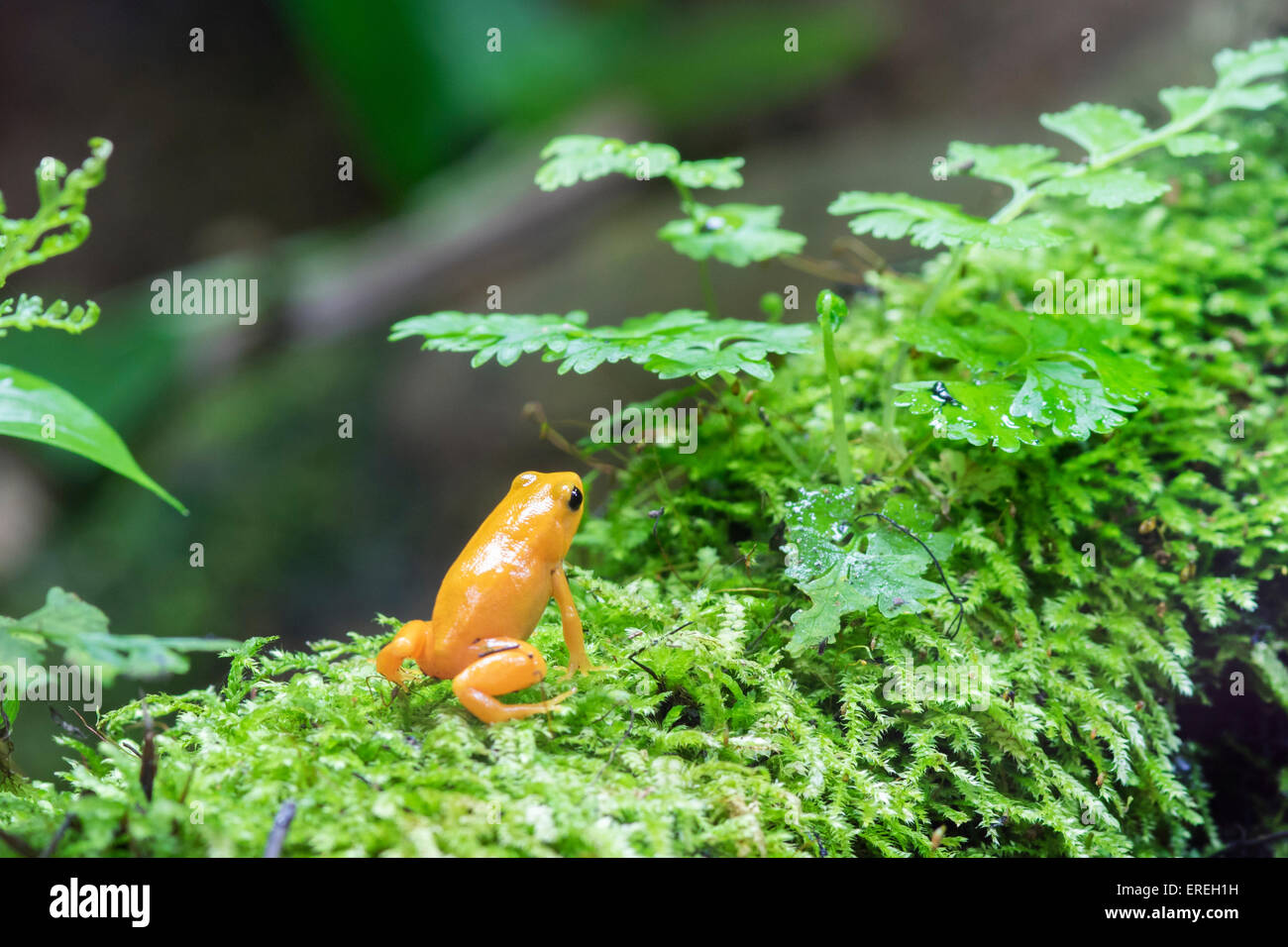 Golden Poison Dart Frog Stock Photos Golden Poison Dart Frog Stock