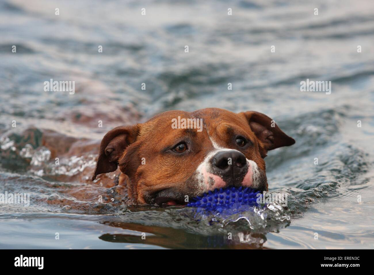 swimming American Staffordshire Terrier Stock Photo