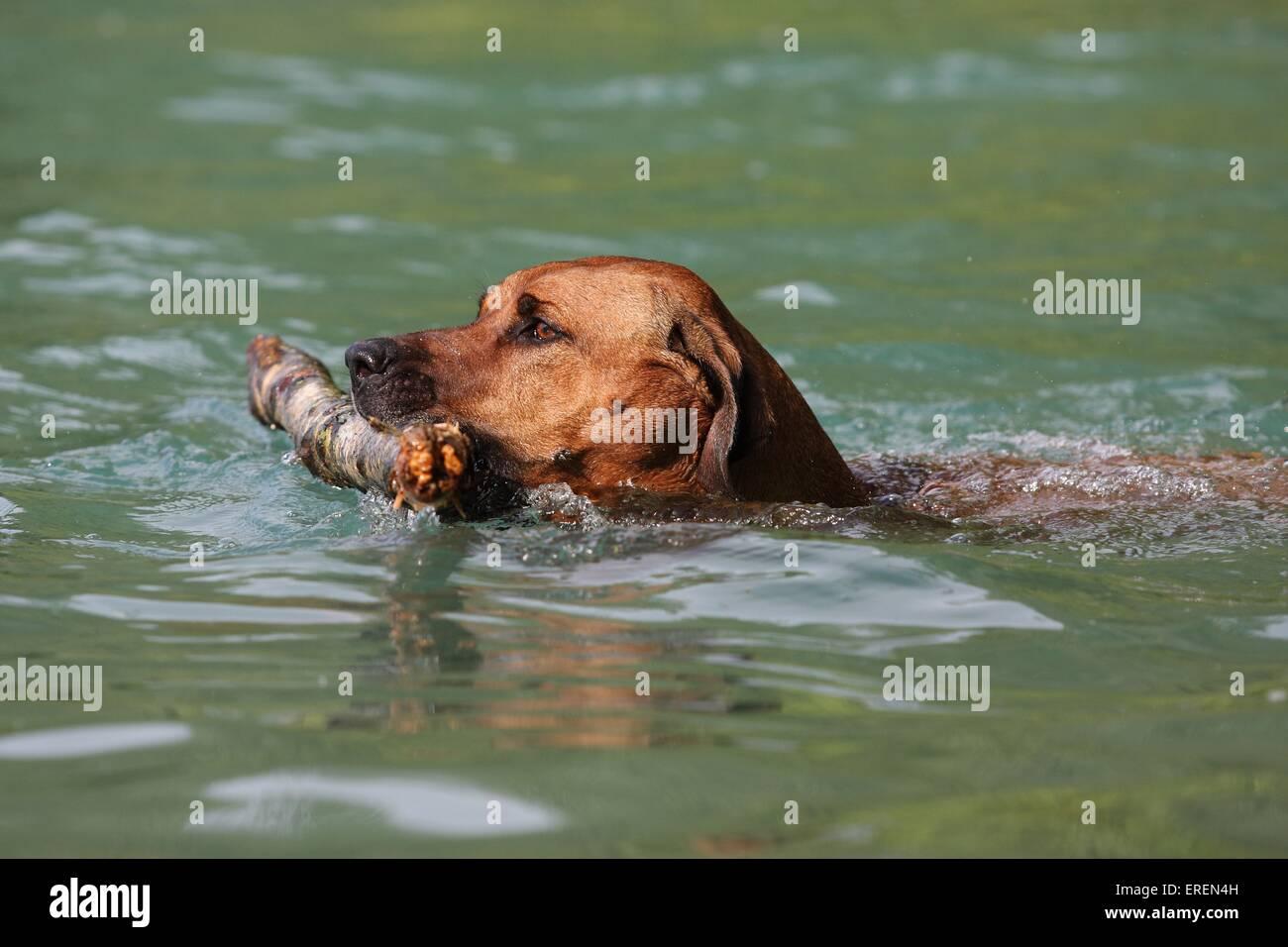 swimming Rhodesian Ridgeback Stock Photo