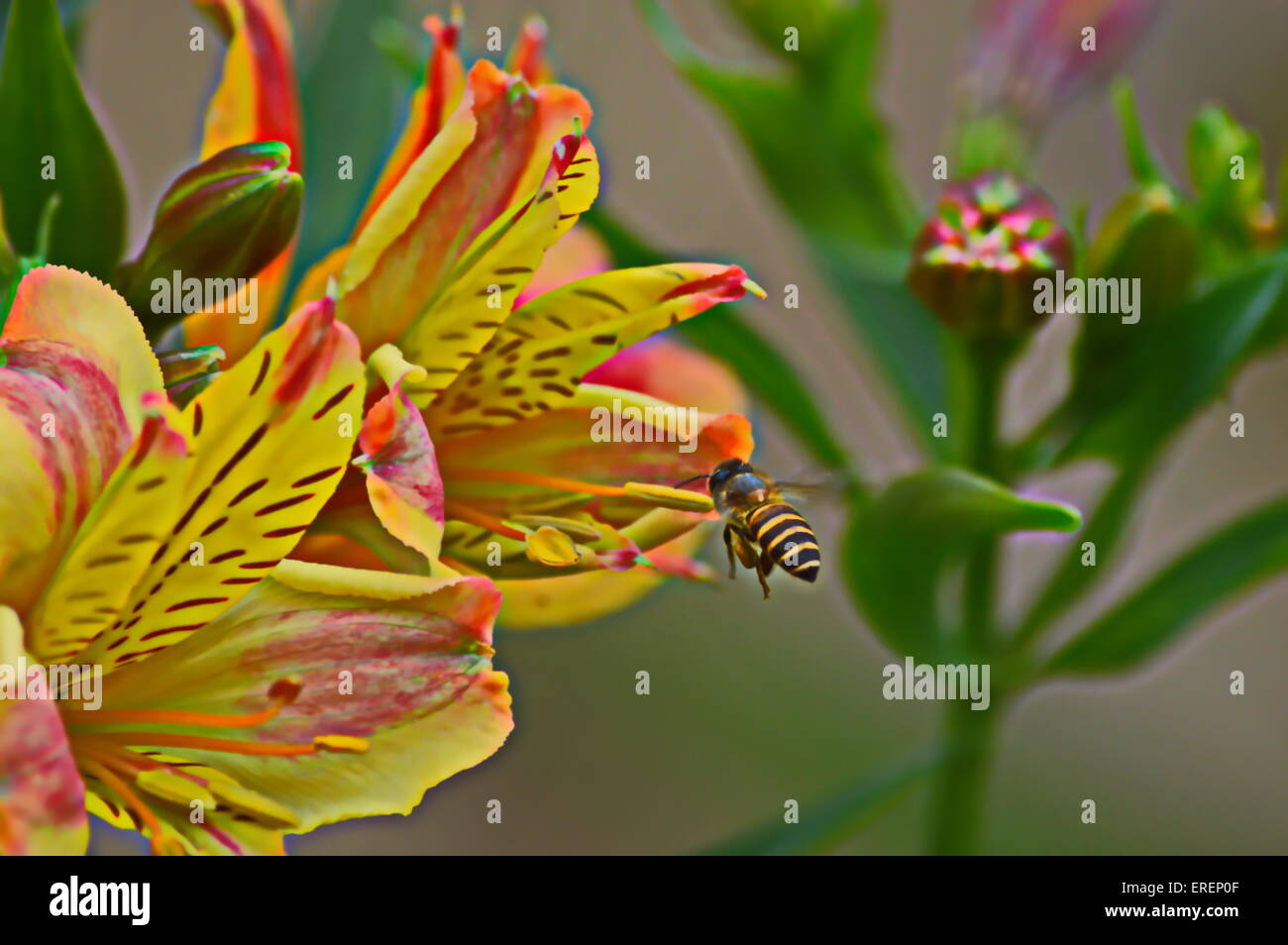 Hovering Honey Bee Yellow Flowers Orchids Rare Stock Photo