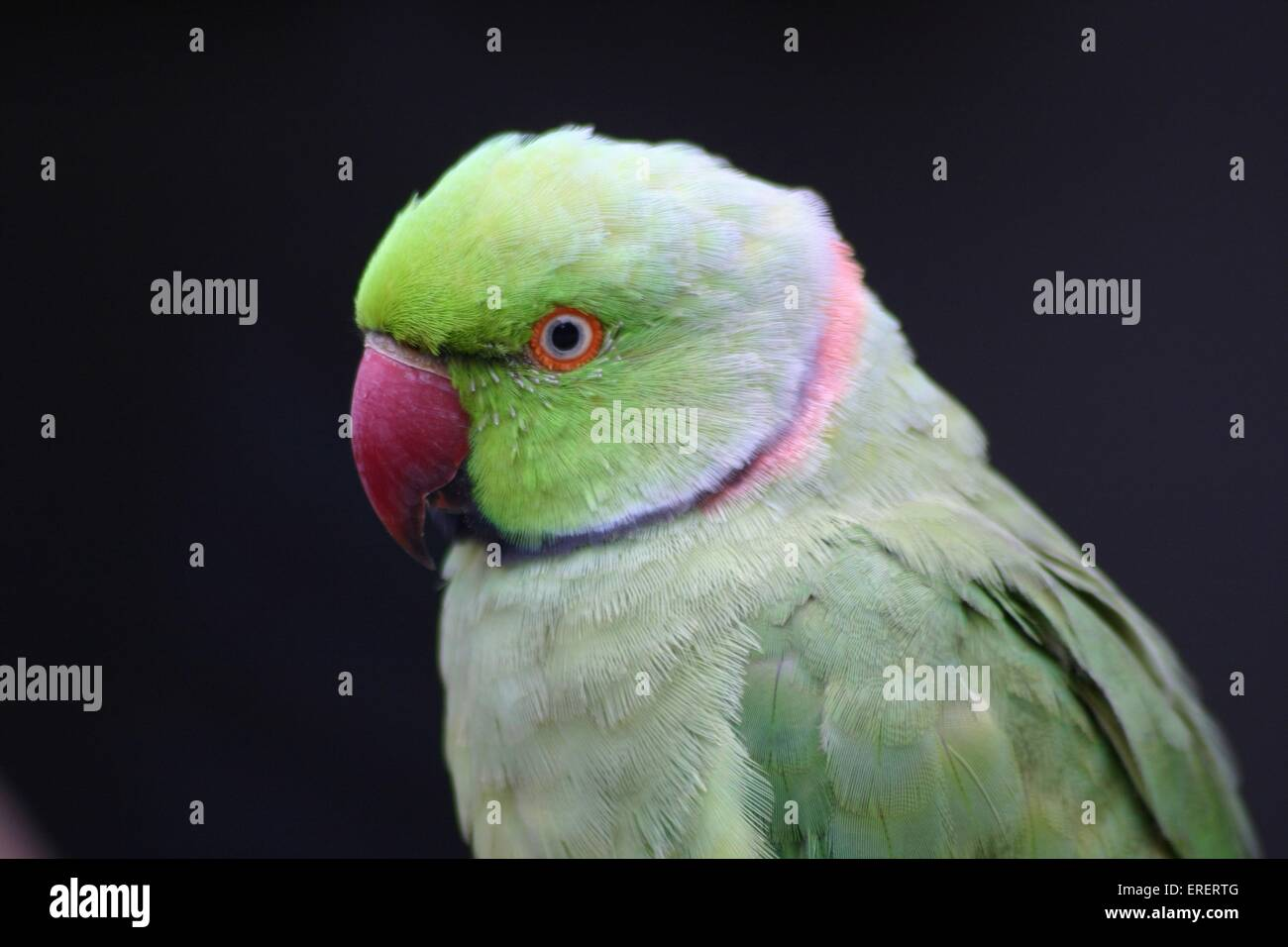 parakeet Stock Photo