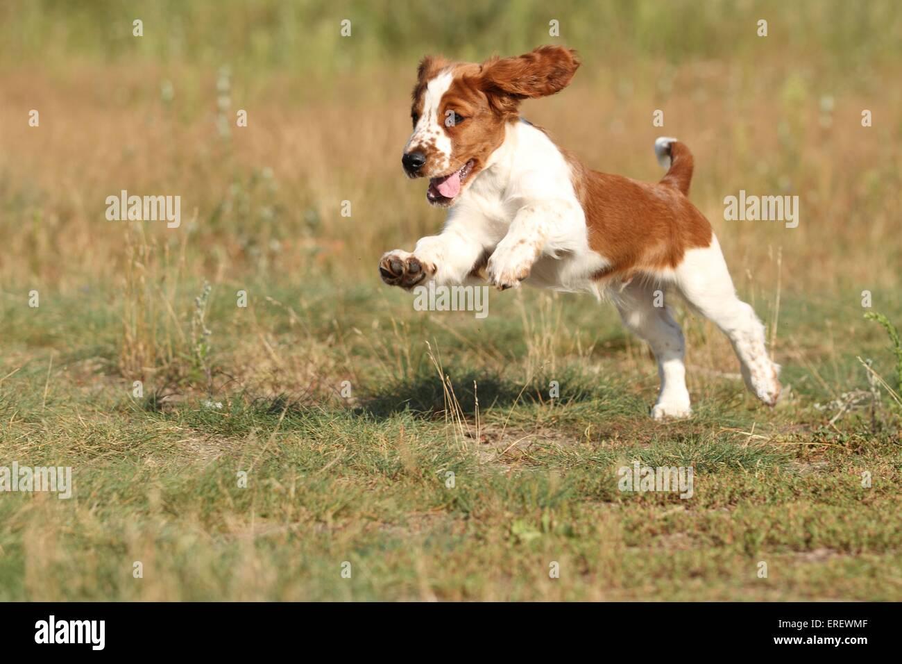 Springer Spaniel Puppy Stock Photos Springer Spaniel Puppy