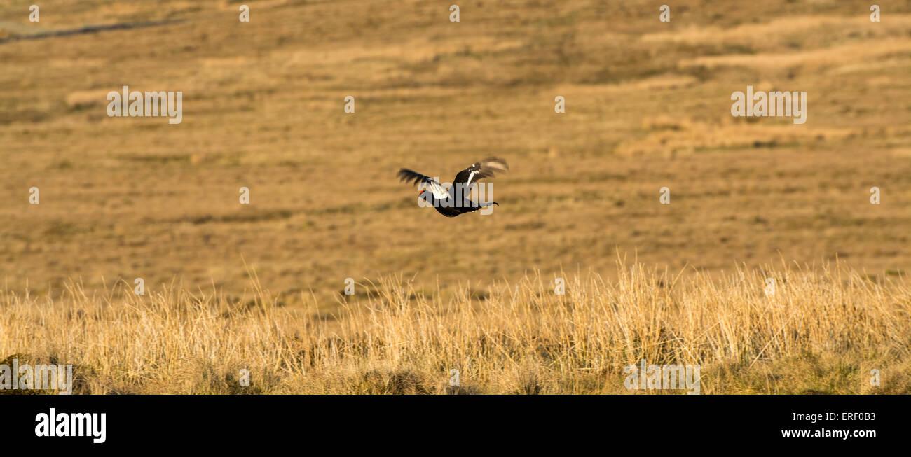 Black Grouse, Lyrurus tetrix, flying over moorland, Cumbria, UK. - Stock Image