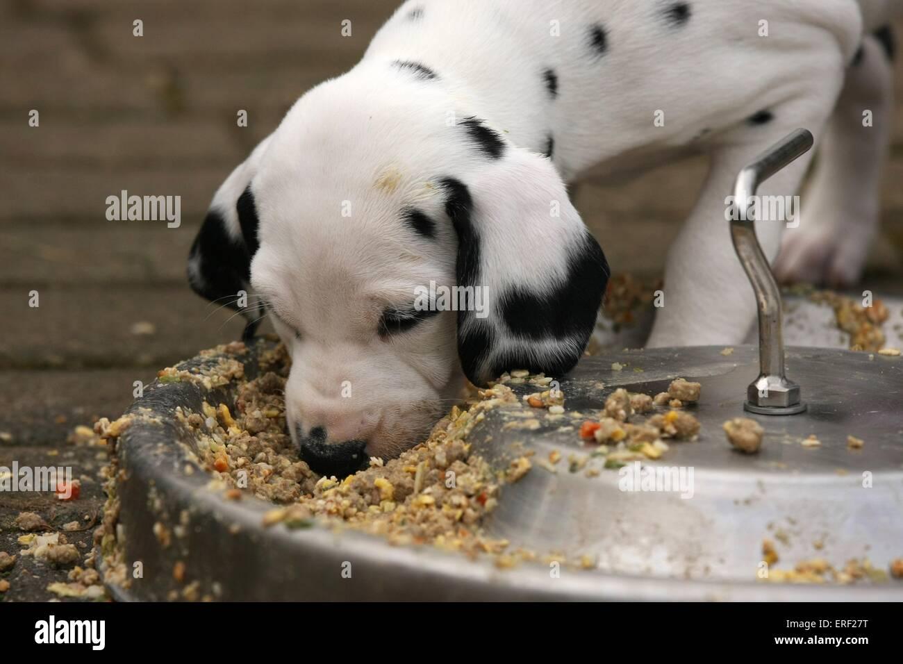 Dalmatian puppy - Stock Image