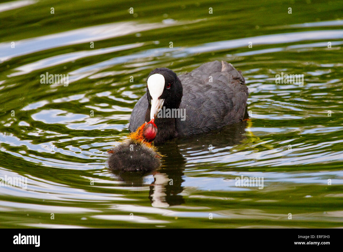 Coot (Fulica atra) with chick - Stock Image