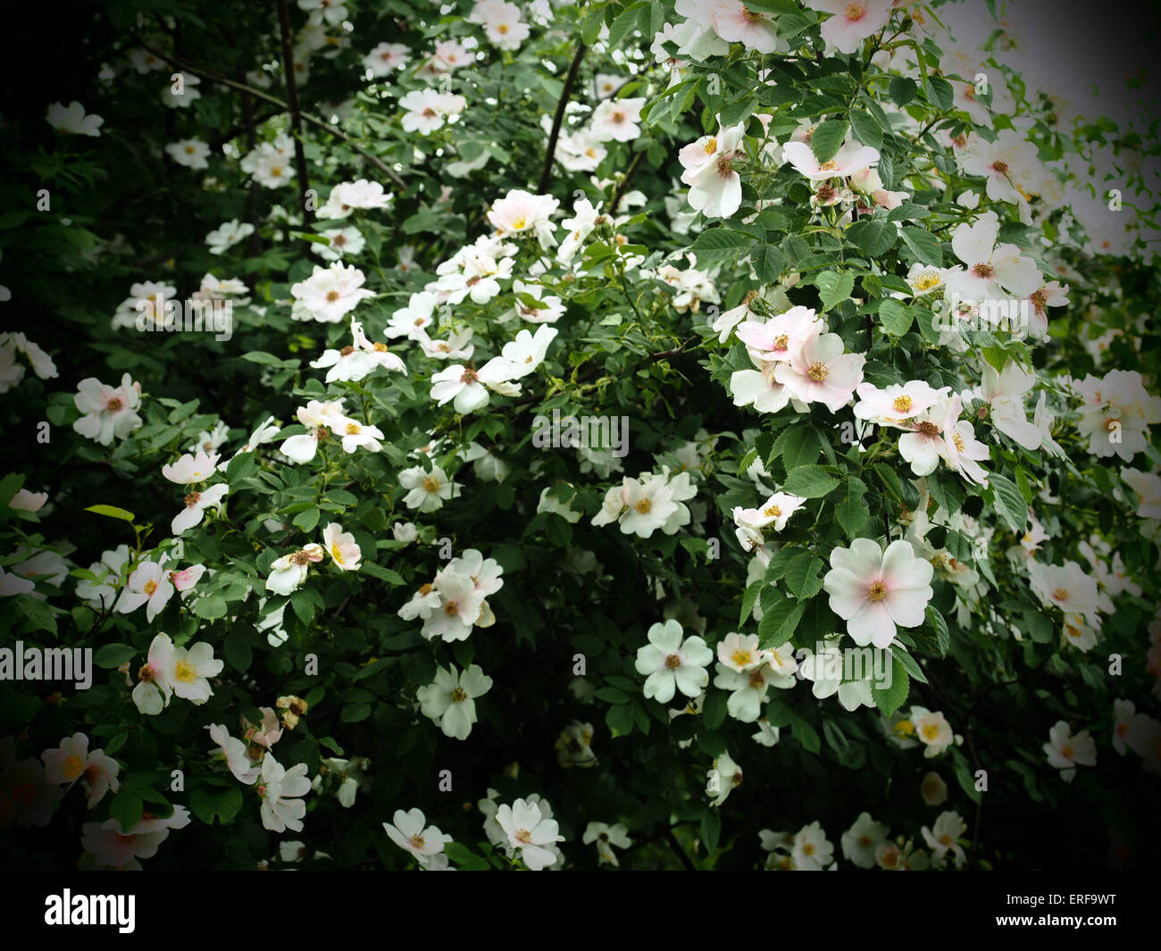 Flowering Shrub White Flowers 2nd Stock Photos Flowering Shrub