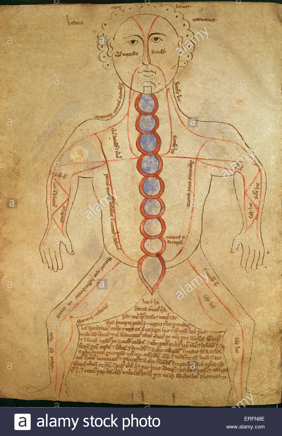 Anatomy chart by Galen, 2nd century. Private collection. Galenos / Galenus: Greek physician, AD 129 - ca. 216. - Stock Image